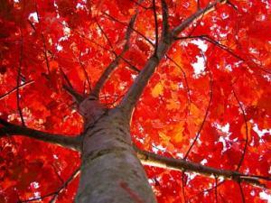 trees blogRed-Oak